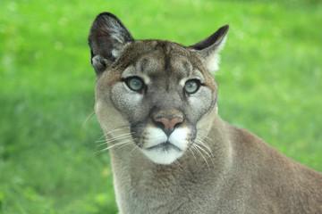 Printed kitchen splashbacks Puma Closeup of cougar or mountain lion in the grass