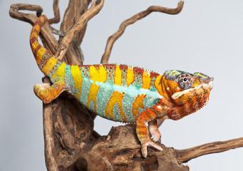 Chameleon Reptil