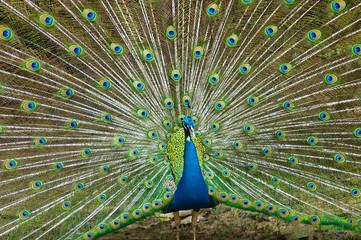 thai peacock