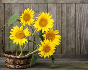 Sunflowers, Helianthus annuus