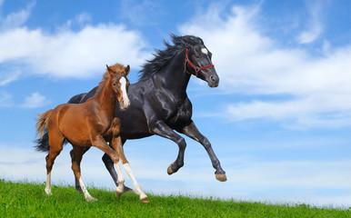 Fototapete - Black mare and sorrel foal gallop
