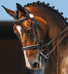 Dressage: portrait of bay horse