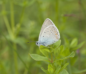 Blue wing sitting on stem