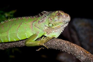 Iguana on  dark background