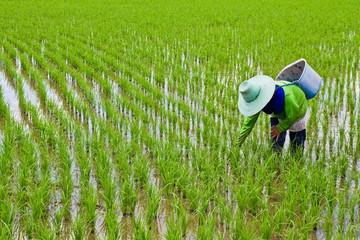 Farmer is weeding in the rice farm
