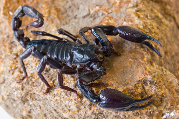Black scorpion on rock