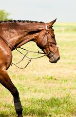 Bay horse in a meadow