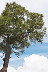 tamarin des hauts, acacia heterophylla