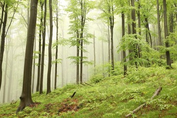 Keuken foto achterwand Bos in mist Misty spring beech forest on the slope in a nature reserve