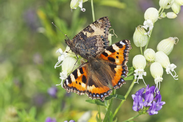 Small tortoiseshell on summer field