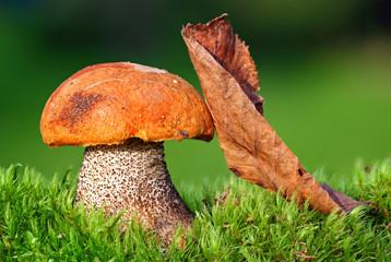 big fungus with Red-capped ( Leccinum aurantiacum mushroom.