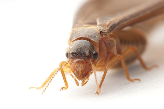 insect termite