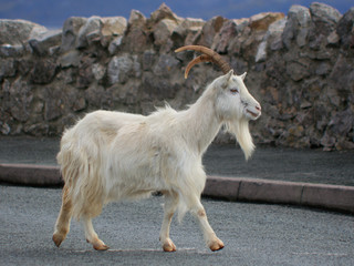 Goat Crossing a Road