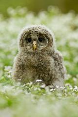 An young Ural Owl (Strix uralensis)