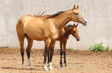 Wall Mural - mare and foal