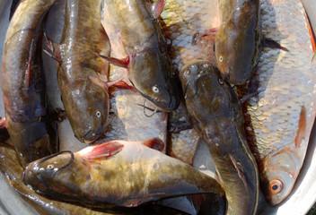 catfish and a rudd