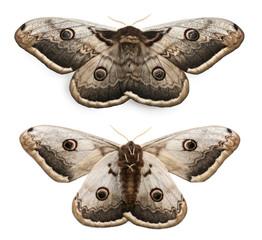The largest European Moth, the Giant Peacock Moth, Saturnia pyri