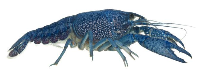 Blue crayfish, Procambarus alleni