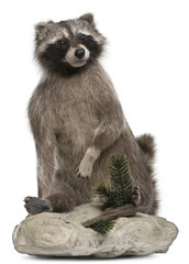 Stuffed North American raccoon also known as the common raccoon