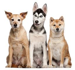 Mixed breed dog, Shiba Inu and Siberian Husky puppy