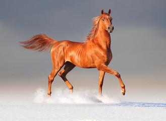 arabian horse in winter