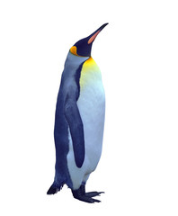 Isolated emperor penguin over white