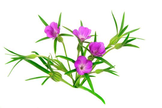 Kornrade (Agrostemma githago), alte Ackerblume