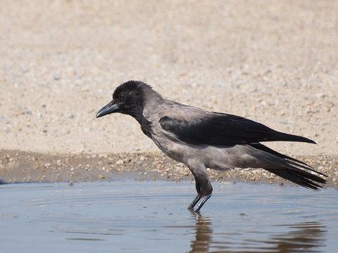 Hooded crow in water,  Corvus corone cornix