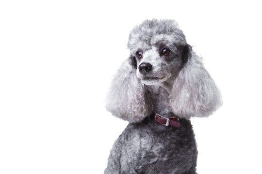 Curious gray poodle on white