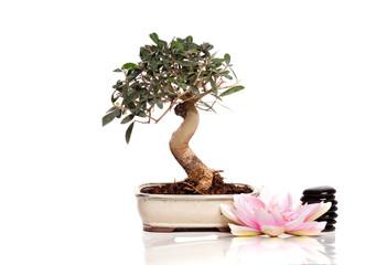bonsaï - olivier de 8 ans