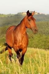 Pferd trabt über Wiese