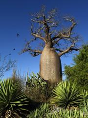 Bottle Baobab
