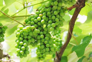 Growing Grapes On Vineyard