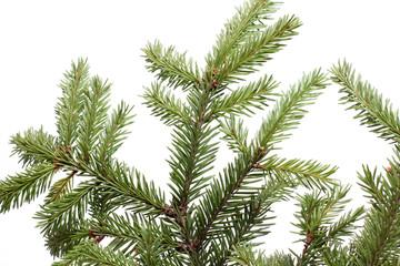 Pine branch