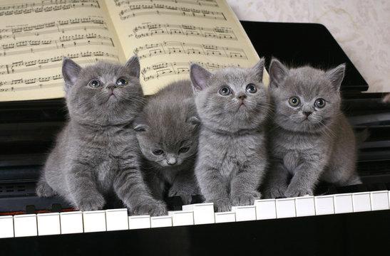 Four British kitten on the piano