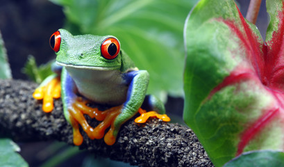 Fotobehang Kikker Red-Eyed Tree Frog