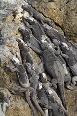 Marine iguana (Galapagos)