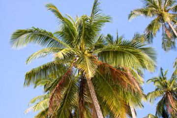 close up of coconut palm tree