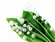 Lily-of-the-valley over white