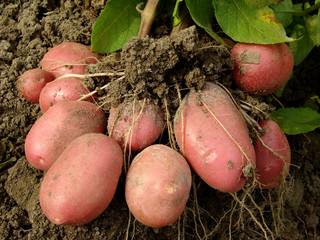 pink potato tubers