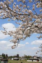桜と薬師寺