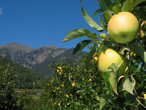 Tempting: Apple on tree on sunny autumn day in Italy