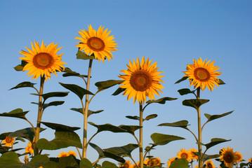 Four sunflowers against blue sky