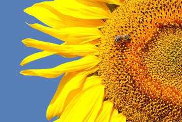 Sunflower head's close up with a bee against blue sky