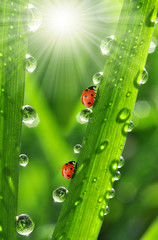 Wall Mural - fresh morning dew and ladybird