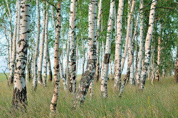 Garden Poster Birch Grove Birch forest