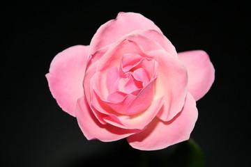 Blume - Rosenblüte 1
