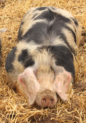 close up of a very big pig pink and black