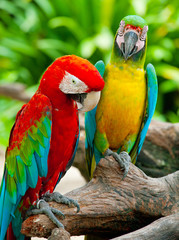 colorful couple macaw sitting in a tree