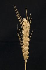 Espigas de trigo en fondo negro